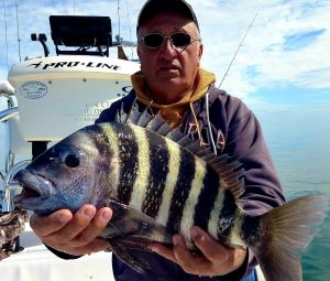 Hefty Sheepshead...