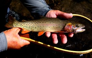 High Country Trout...